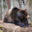 Italian brown bear - Stock Photo