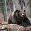 Bear portrait — Stock Photo #2870638