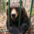Brown bear in a cage — Stock Photo