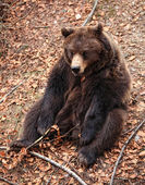 Brown bear portrait — Stock Photo