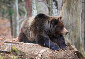 Italian brown bear — Stock Photo
