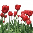 Tulip flowers - Foto Stock