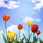 Tulip flowers — Stock Photo #2968303