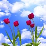 Tulip flowers — Stock Photo #2968322