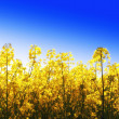 Yellow flowers and blue sky — Stock Photo