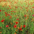 Poppies field - Stock Photo