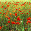 Poppies field — Stock Photo #3031942