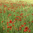 Poppies field - Foto Stock