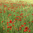 Poppies field - Foto de Stock