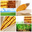 Agriculture corn background — Stock Photo