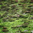 Wild chamois - Stock Photo