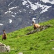 Wild chamois on alps - Stock Photo