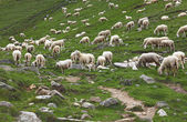 Group of sheep — Stock Photo