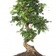 Bonsai on white — Stock Photo