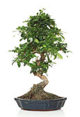 Classic bonsai — Stock Photo