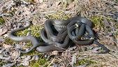 Three snakes — Stock Photo