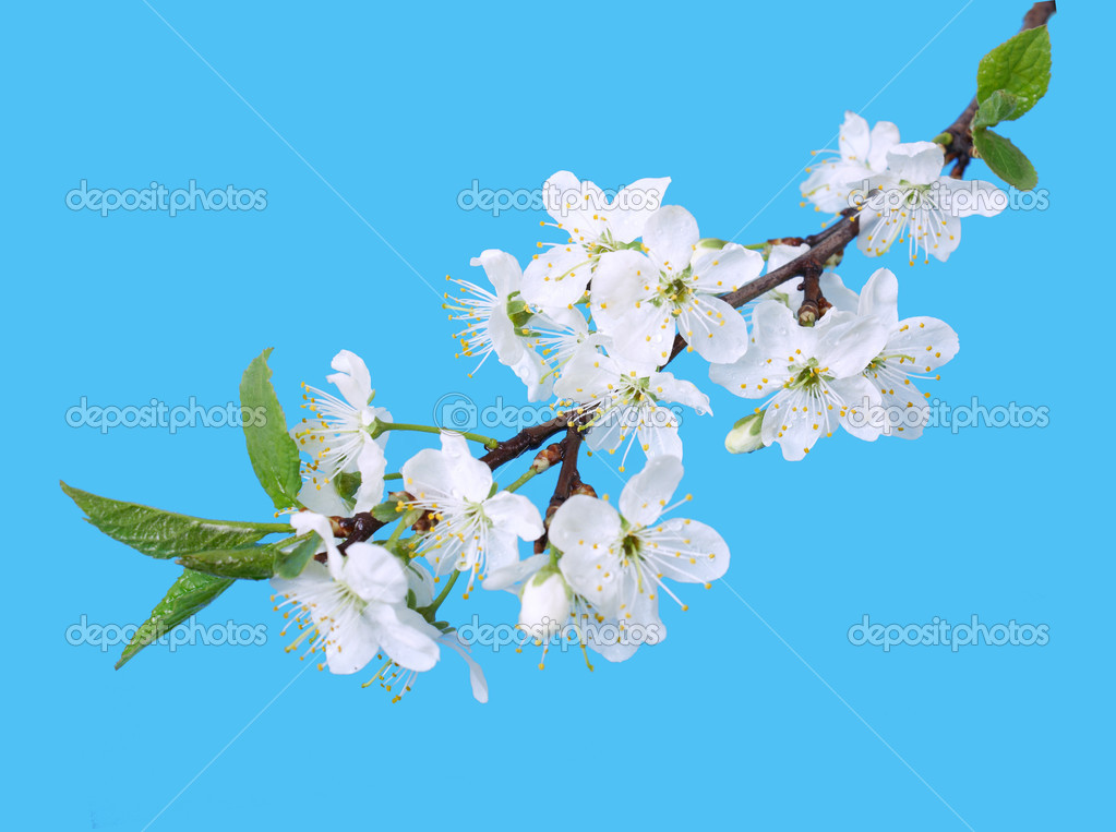 White spring cherry tree blossoms isolated on blue background — Stock Photo #3079350