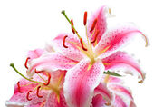 Pink lilies on white — Stock Photo
