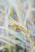 Wheat spikes — Stock Photo