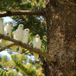 Group of  white parrot - Stock Photo