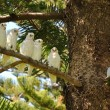 Group of  white parrot - 图库照片