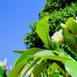 Frangipani flower - Photo