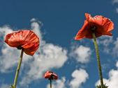 Rode papaver bloemen. — Stockfoto