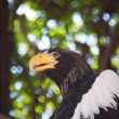 Stock Photo: Wild eagle portrait