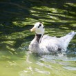 Duck in water — Stock Photo