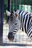 Zebra portrait in zoo — Stock Photo