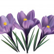 Постер, плакат: Crocus flowers