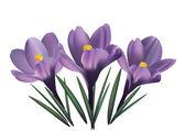 Crocus flowers — Stock Vector