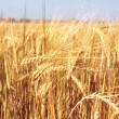 Crop of rye — Stock Photo #2942034