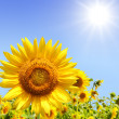 Sunflowers — Stock Photo #2997578
