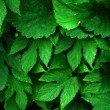 Green leaves — Stock Photo #3092146