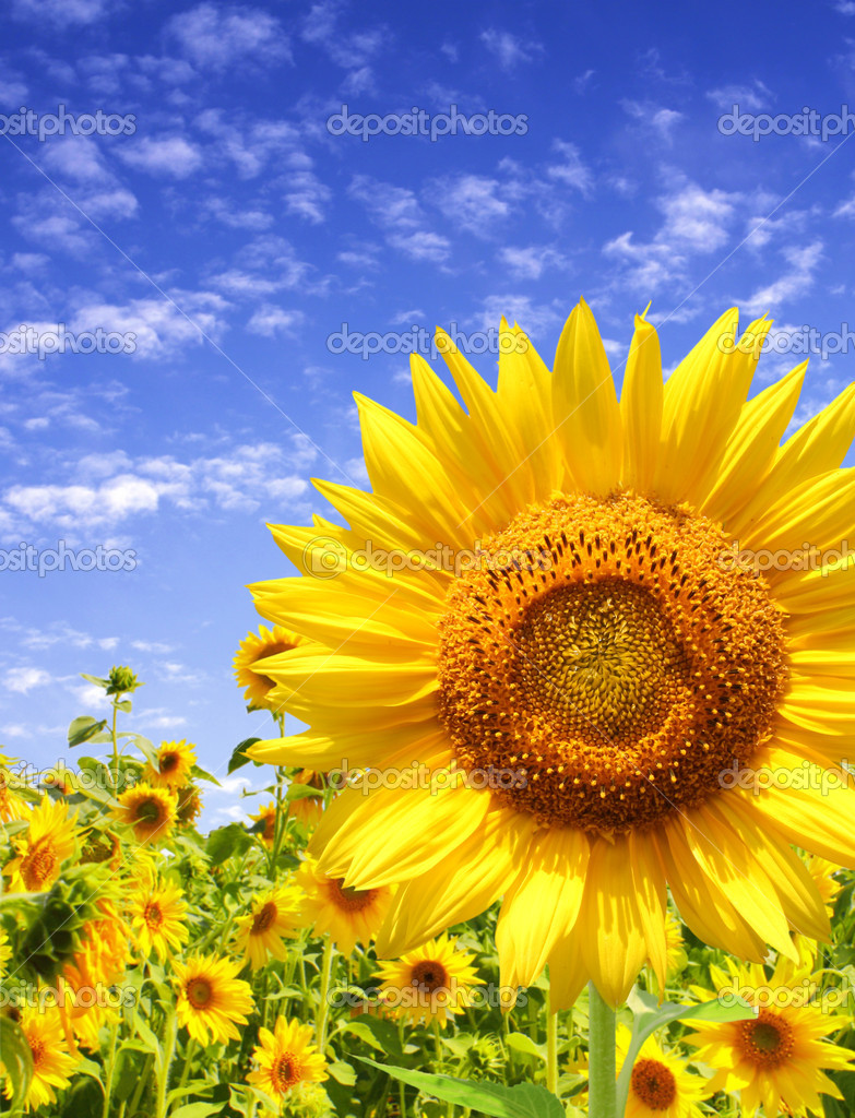 Yellow sunflowers and blue sky — Stock Photo #3363040