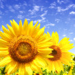 Sunflowers — Stock Photo #3614341
