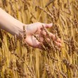 Girl hand in wheat field — Stock Photo