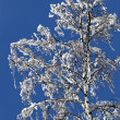 Birch in a snow — Stock Photo