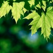 Royalty-Free Stock Photo: Green maple leaf