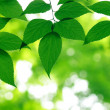 Green leaves — Stock Photo #3591280