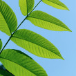green leaves — Stock Photo #3865794