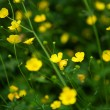 Bloossoming yellow buttercups in green grass - Stock Photo