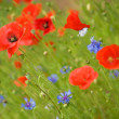 Beautiful blossoming poppies and cornflowers — Stock Photo