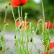 Beautiful blossoming poppies — Stock Photo