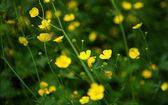 Bloossoming yellow buttercups in green grass — Stock Photo