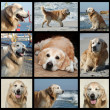 Golden retriever's life - collage — Foto de Stock