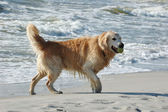 Golden retriever dog at the sea — Stock Photo
