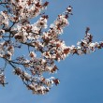 Spring sakura blossom closeup — Stock Photo