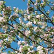 Spring apple tree blossom closeup - floral background — Stock Photo